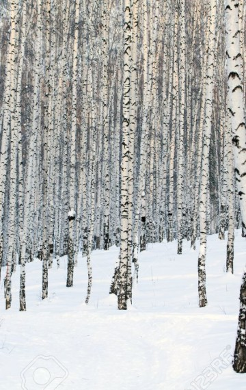 Birch winter